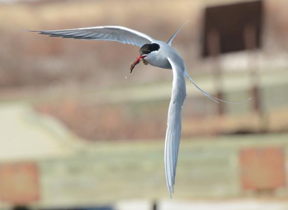 Airborne Arctic Tern, Nome, AK by DevDharm Khalsa