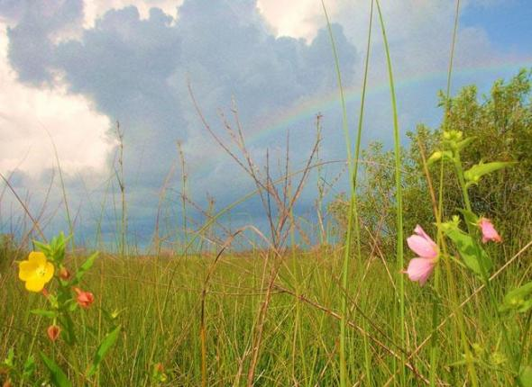wildflowers and rainbow at Big Cypress National Preserve. Photo courtesy of BigCypressNPS