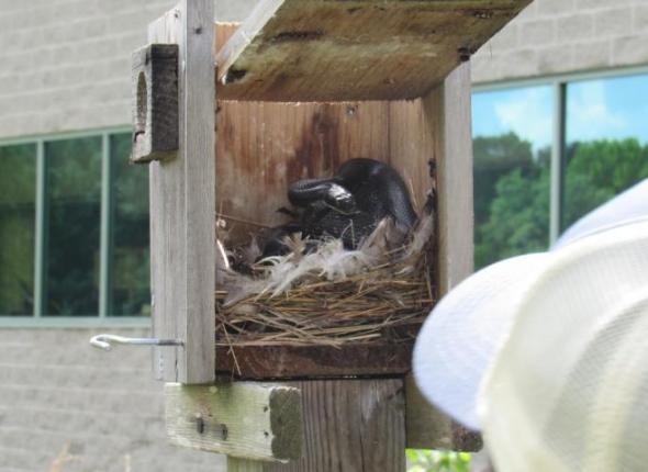 Black Rat Snake in a Bird Next Box at Patuxent