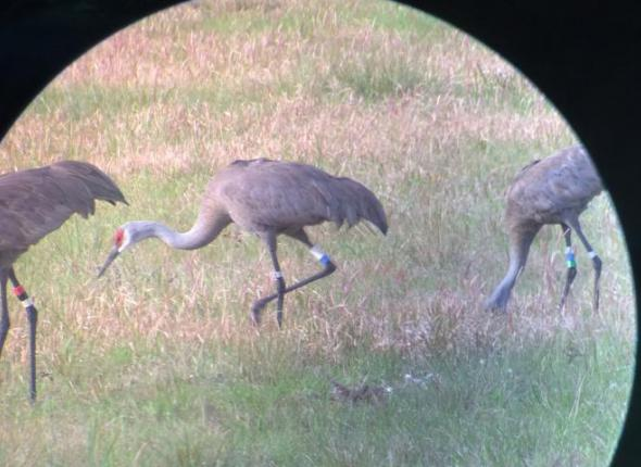 USFWS-banded Mississippi Sandhill cranes.