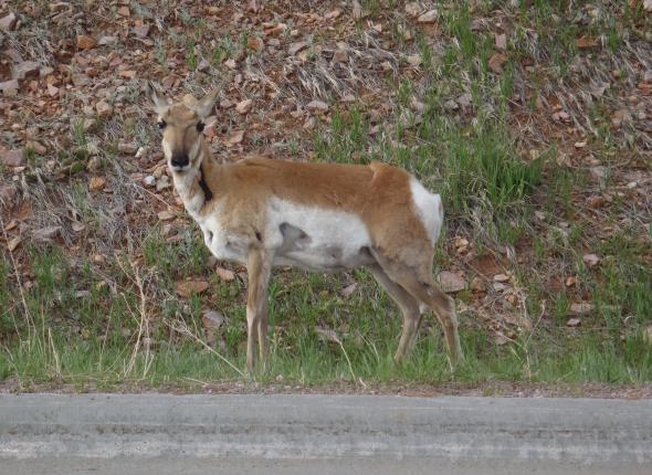 Wildlife SCA VFC 2 2013 - South Dakota Antelope