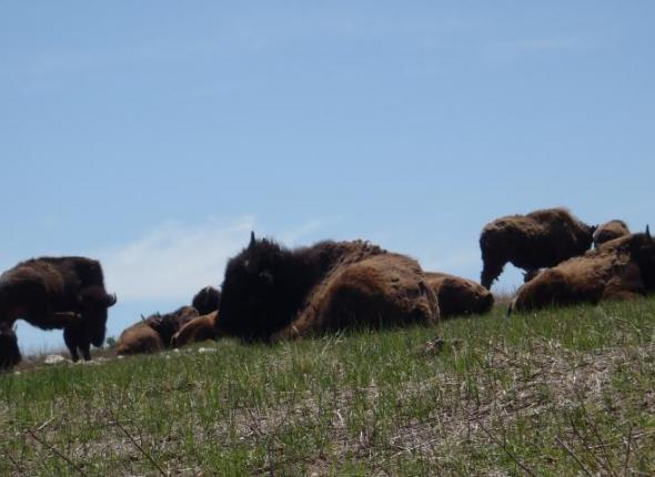 Wildlife SCA VFC 2 2013 - Black Hills Bison