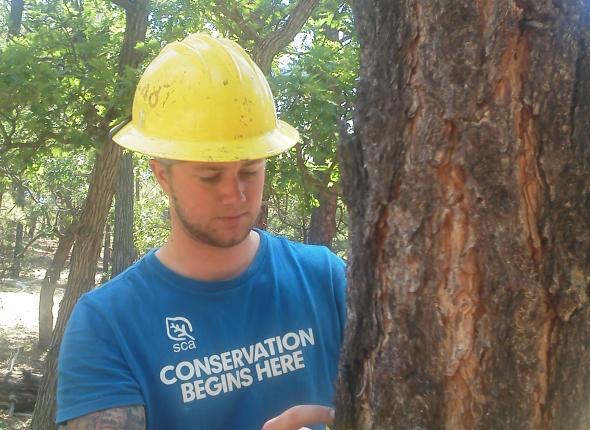 Brian measures the diameter of a ponderosa pine.