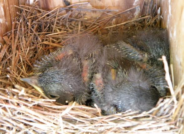 Eastern Bluebirds start fluffing up!