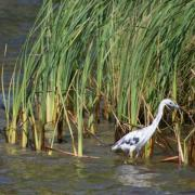 Little blue herons stalk the shallows at NAS Jax. U.S. Navy Photo.