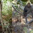 SCA Intern Chris Burgess is helping pull back the Key Largo woodrat from the brink of extinction